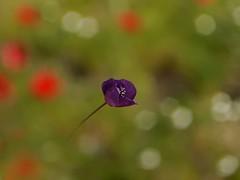 Una nueva primavera..... (T.I.T.A.) Tags: bokeh poppy poppies palencia amapolas amapola dueas primotar campodeamapolas amapolamorada dueas2015