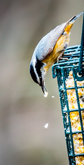 Red-breasted Nuthatch (Ron Ciejka Photography) Tags: birds spring newengland feeders nuthatch redbreastednuthatch