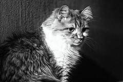 (Light Echoes) Tags: rescue pet animal cat ginger spring katten kat feline gate chat sony longhair gato katze cath  macska gatto  kot gat randall koka kedi kass  katt kissa maka kucing mo 2016    kat  miv kalo pisica kais    qattus a6000    vighro