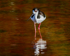 Coyness (craig goettsch - On Walkabout) Tags: bird nature nikon wildlife ngc sanibel avian blackstilt 600mm baileytract d7100 sunrays5