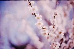 hakubai (sencharlie) Tags: white film canon spring ae1 plum sunny filmcamera ume  japaneseapricot   whitespring