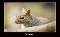 Squirrel (cconnor124) Tags: cute nature squirrels wildlife canoneos naturephotography uknature flickrnature shieldofexcellence canon100400lens canon760d