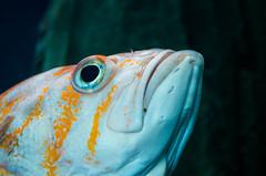 IMGP5323 (cimp8499) Tags: fish oregon aquarium underwater newport newportaquarium deepsea newportoregon