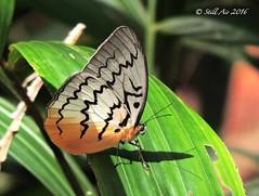 Melanocyma faunula (Pallid Faun) (MY-C004) (Butterflies in Still Air) Tags: butterfly malaysia faun pallidfaun melanocymafaunula melanocyma faunula