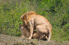 Mating Encounters (Ashwati Vipin - Back after hiatus) Tags: life africa family light wild vacation sun holiday green love home nature grass sunshine landscape photography nationalpark amazing nikon colours kenya wildlife lion dramatic conservation places adventure safari journey experience mara mating savannah wilderness migration predator mammals lioness masai ecosystem masaimara wildanimals ecotourism naturephotography riftvalley eastafrica nikoncamera naturelove wildsafari masaimaranationalreserve loveanimals wildlifephotography animallove nikonusers nationalreserve africanlandscape nikond5000 savannahlandscape nikond5000users