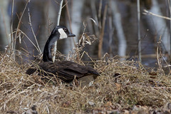 0A8A8095 (onegreatcity55) Tags: canada nature canon wildlife manitoba gimli assiniboinepark oakhammockmarsh lakewinnipeg ftwhyte