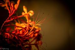 20160327-DSC_2329 (Vighnaraj Bhat) Tags: flower nikon dof bokeh outdoor depthoffield d750 fullframe udupi 105mm primelens bokehlicious fixedfocal theunforgettablepictures nikkor105mmf28gvr beyondbokeh
