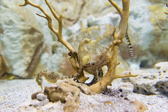 Hippocampes (arnauddeschamps49) Tags: fish france nature aquarium larochelle beautifulcolours