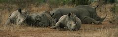 Afternoon Snooze (philnewton928) Tags: africa wild nature animal southafrica mammal outdoors nikon outdoor wildlife safari rhino animalplanet rhinoceros krugernationalpark kruger endangeredspecies whiterhino ceratotheriumsimum d7200 nikond7200