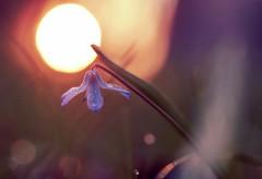 into the sun (StadtKind - capture the Bokeh) Tags: blue sun flower macro closeup sunrise droplets drops bright petal scilla sonnenaufgang 6028 olympus6028 olympusem10markii