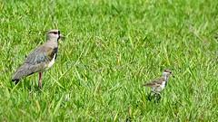 QUERO-QUERO (sileneandrade10) Tags: bird nature animal natureza aves southern lapwing cerrado queroquero chilensis vanellus avesdobrasil sileneandrade