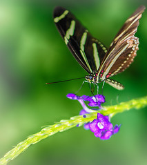 Gourmandise... (frederic.gombert) Tags: pink flowers light sun sunlight black flower color macro green colors butterfly insect soft purple macrodreams