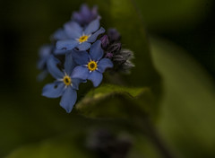 Forget-Me-Not 2 - April 2016 (GOR44Photographic@Gmail.com) Tags: blue flower macro green yellow canon purple 100mm 5d forgetmenot 100mmf28 canon100mm gor44