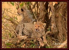 CHEETAH CUB (Acinonyx jubatus).....MASAI MARA....OCT 2015 (M Z Malik) Tags: africa nikon kenya wildlife ngc safari npc cheetah masaimara cheetahcubs maraserena transmara flickrbigcats exoticafricancats d800e exoticafricanwildlife 400mmf28gedvr