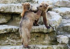 243-March'16 (Silvia Inacio) Tags: bear portugal zoo lisboa lisbon urso jardimzoologico
