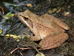 Rana iberica (ruiamandrade) Tags: nature natureza frog rana rã iberian iberica anura ranidae rãibérica