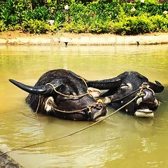 Water buffaloes (cosmicchi) Tags: nature water animal buffalo vietnam dalat waterbuffaloes prenn