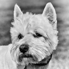 Buddy (adrian.sadlier) Tags: portrait dog mono westie canine buddy westhighlandwhiteterrier