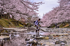 (DSC_2832) (nans0410(busy)) Tags: pink flower japan river cherry outdoors spring kyoto photographer blossom   sakura kansai   kameoka  sakurapark     kinkiarea