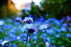memories (nelescholten) Tags: sunset flower macro nature spring missing bokeh memories dreamy forgetmenot blossoming grandpasgarden