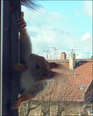 """auf der Suche nach Nüssen an meinem Fenster  21.03.16 (flixx-ak) Tags: germany deutschland squirrel eichhörnchen 2016 flixxakoffenbachammainhessen r0019203 """"anvormeinemfenster"""""""