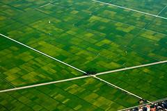 Vietnam (Phng Thu Hong) Tags: green flying rice vietnam greenfields