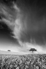 Passing Storm (Kathy ~ FineArt-Landscapes) Tags: sky blackandwhite cloud storm tree nature monochrome field weather outdoors spring britain fineart crop nottinghamshire oilseedrape