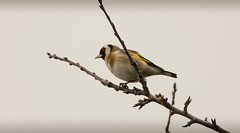 Bird. (scottmirams_photography) Tags: uk bird nature animal canon wildlife essex maldon dlsr 600d