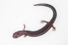 Eastern Red-backed Salamander (Plethodon cinereus) (Steve Byland) Tags: canon salamander 7d eastern herp markii plethodon redbacked cinereus leadback