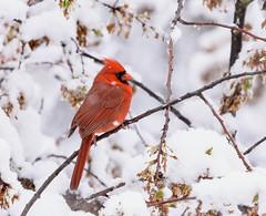 Cardinal and Snow (snooker2009) Tags: winter red tree male bird nature cherry spring cardinal blossom pennsylvania wildlife april blooms redbird