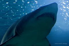 valencia 2016-116 (hiroke636) Tags: valencia animal shark mar agua peces tiburon oceano oceanografic