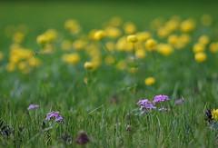 20150606-028F (m-klueber.de) Tags: italien italy flora italia wiese gelb alpine ranunculaceae dolomites dolomiti dolomiten 2015 trollius trollblume europaeus alpenflora feuchtwiese europische hahnenfusgewchse mitteleuropische mkbildkatalog sumpfwiese 20150606 sdeuropische 20150606028f