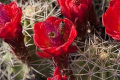 Claret Cup (Ken Barber) Tags: red cactus hedgehog spines prickly echinocereus claretcup triglochidiatus