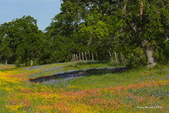 Texas Wildflowers 2016 (Happy Photographer) Tags: flower tree field fence spring texas wildflowers paintbrush bluebonnets llano indianblanket hwy29