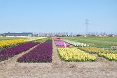 Hyacinths in various colours (DennisM2) Tags: hyacinten kleurrijk hyacinths