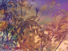 2016-03-17-P1320810BLr (CarolesPhotoArt) Tags: flowers blended
