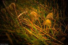 More Mushrooms (McMac70) Tags: autumn fall nature mushrooms seasons herbst jahreszeiten natur ostfriesland pilze smcpentaxda18135mmf3556edalifdcwr pentaxk3
