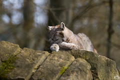 20160402-_MG_0303.jpg (Tosama) Tags: frhling luchs tierwelt wildparkschlosstambach