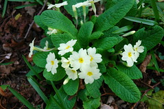 Primula (moikeyboy) Tags: park flowers primula rufford