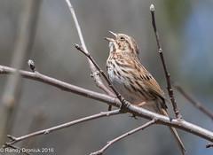 Belting it out (rdroniuk) Tags: birds song sparrow sparrows oiseaux smallbirds melospizamelodia bruant passerines bruantchanteur passereaux