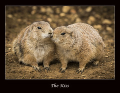 (cconnor124) Tags: nature animals prairiedogs canoneos zoos naturephotography animalcloseups lagoszoo shieldofexcellence canon100400lens canon760d