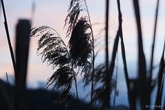 Twilight (nathaliedunaigre) Tags: black nature reeds twilight noir crpuscule roseaux