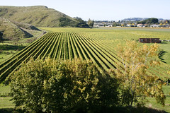 Mission Estate Winery vineyards (Karen Pincott) Tags: autumn vineyard wine grapes napier winemaking hawkesbay grapevines missionestatewinery