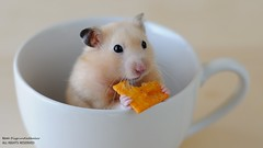 Bokeh Wednesday Hamster (disgruntledbaker1) Tags: wednesday happy nikon bokeh hamsters d90 hbw disgruntledbaker