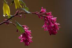 Les couleurs reviennent (mrieffly) Tags: fleurs couleurs canoneos50d printempsvosges 100400issriel