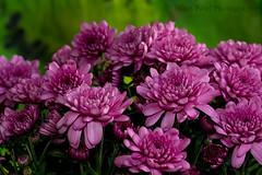 IMG_9475 (nitinpatel2) Tags: flowers patel nitin