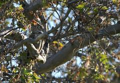 Sycamore Grove 4-17-16 (84) (tpbsr) Tags: birds owl april woodpeckers livermore lvcc sycamoregrove sycsmoregrove