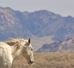 Topaz in the Foothills (chad.hanson) Tags: wildlife wyoming wildhorses mustangs greenmountainhma