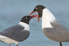 Oral Hygiene is no Laughing Matter (Melis J) Tags: beach unitedstates florida gull matingritual laughinggull leucophaeusatricilla maderabeach