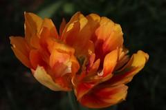 Tulip, Beijing (NovemberAlex) Tags: china flowers tulips bokeh beijing flowercloseup